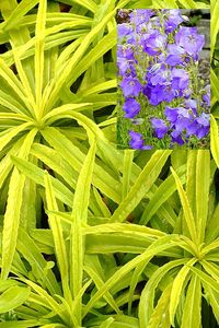 Campanula 'Blue-eyed Blonde', an impressive two season perennial. Image © Terra Nova Nurseries