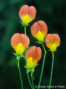 Lathyrus belinensis: a charming species recently discovered in Turkey. Image © Simply Seeds and Plants