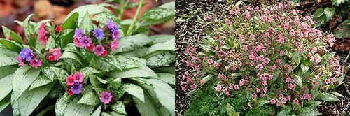 Pulmonaria 'Bubble Gum' (right) and 'Silver Bouquet' bring us unique flower colour and mildew resistance. Image ©Terra Nova Nurseries