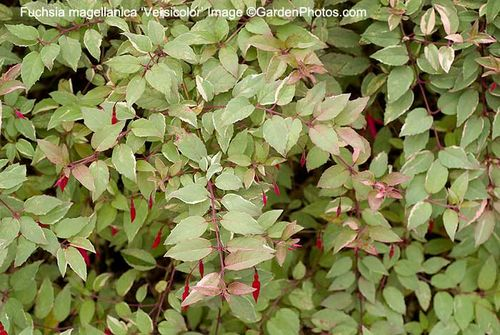 Fuchsia magellanica 'Versicolor' is elegant, colourful and hardy. Image ©GardenPhotos.com