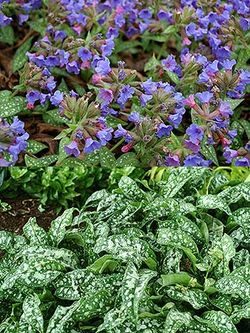 Pulmonaria 'Trevi Fountain' with its colourful flowers followed by bright silver-spotted foliage. Images ©Terra Nova Nurseries